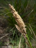 Carex camposii