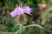 Centaurea x subdecurrens