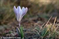Crocus nevadensis