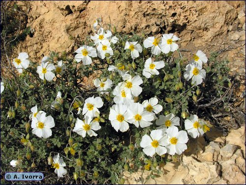 Helianthemum abelardoi
