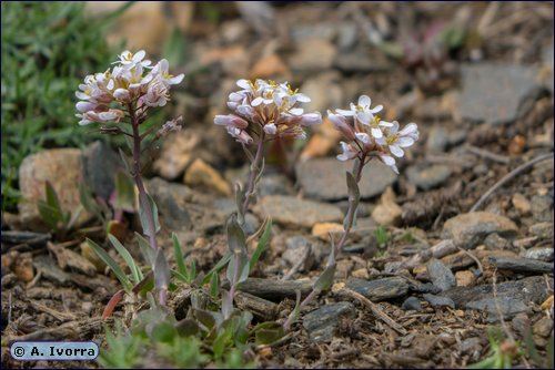 Noccaea nevadensis