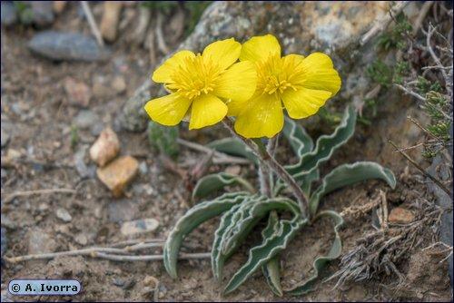 Ranunculus cherubicus subsp. girelai