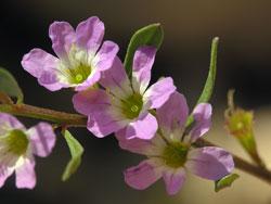 Lythrum baeticum